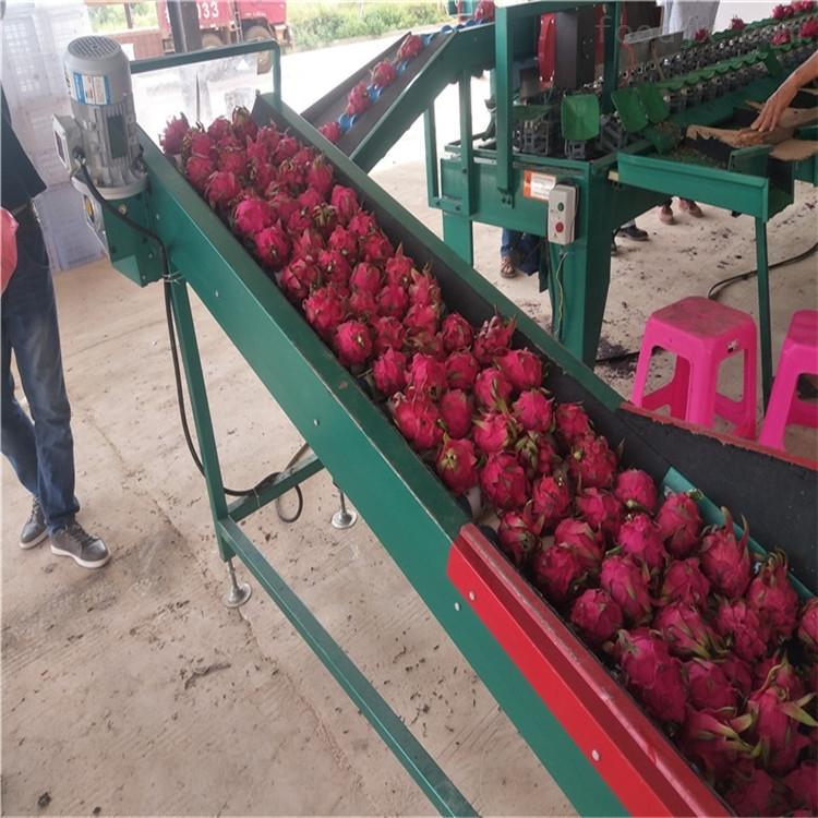 贵州罗甸火龙果选果机大小个头分级设备