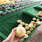 XGJ-SZ四川会理石榴选果机水果分果机挑大小的设备