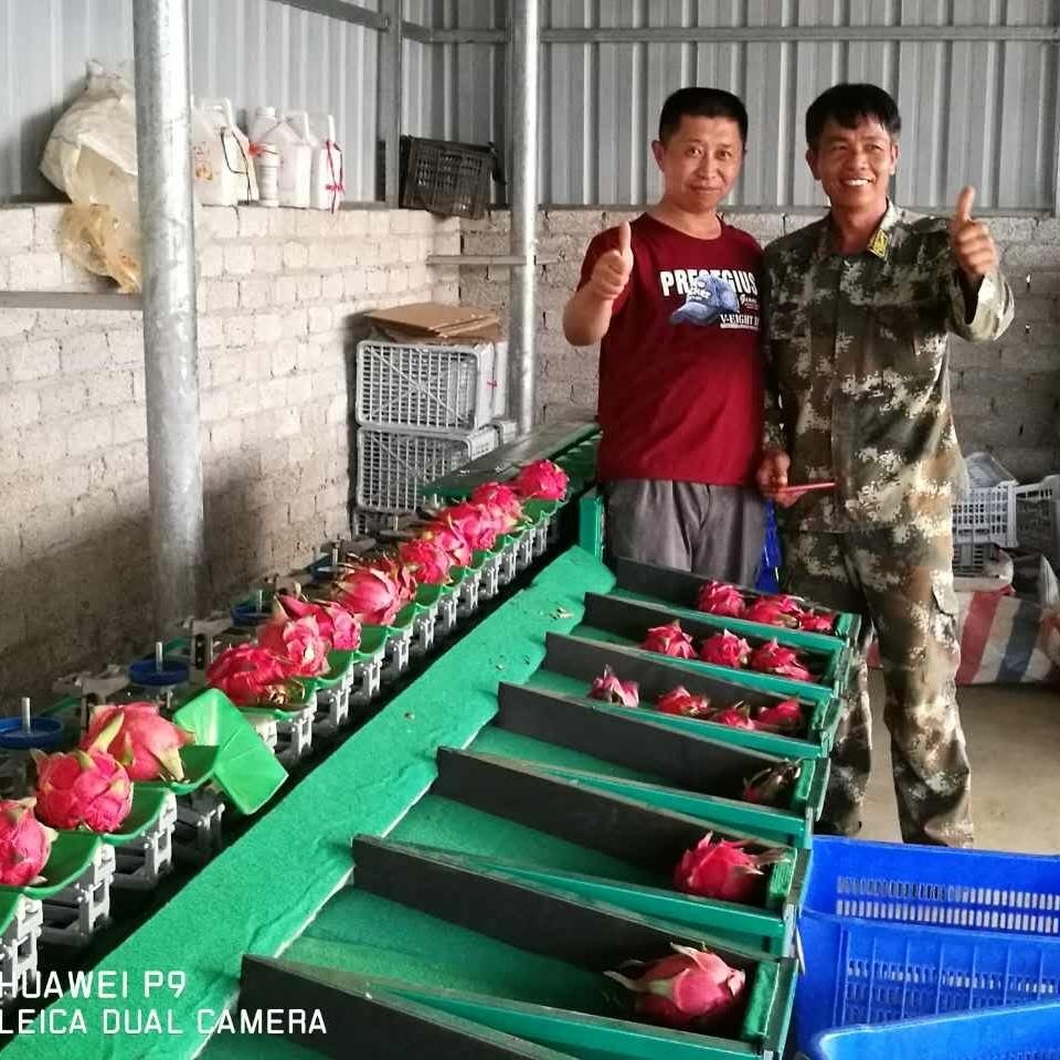 广西火龙果分选机  不损伤叶柄的分级设备