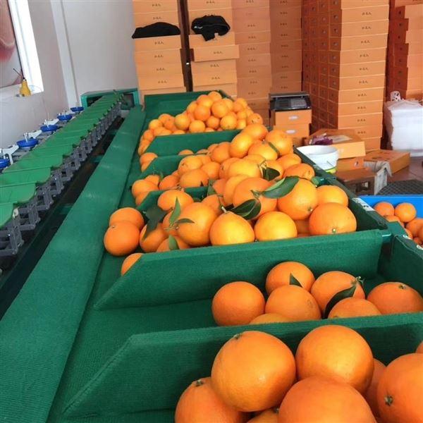 广西玉林贡柑分选设备 兴业柑橘选果机