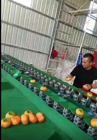昆明石林甜柿子分选机  重量分选大小